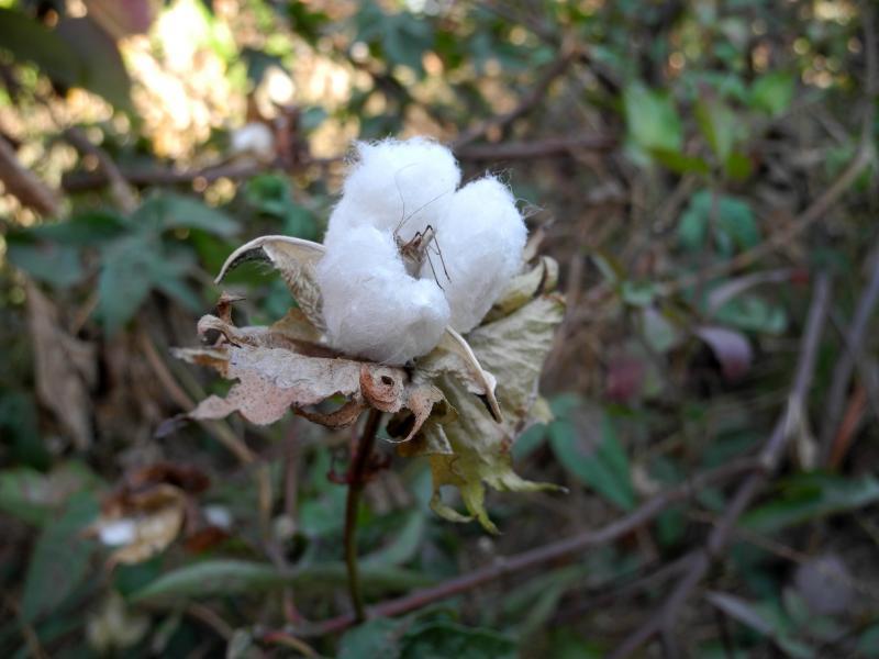 Sangu flower